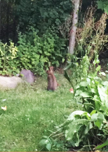 A hare that often visits my garden.